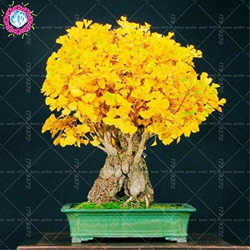 Heirloom organiques 5 pcs/sac Ginkgo biloba gingko noix Maidenhair arbre graines cultivées Bonsaï de pot de semences pour le jardin de la maison 1