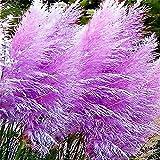Viola Reed Semi, 100Pcs Reed Seeds DIY decorativo Belle Semi ornamentale pampa Erba Reed per Ideal Outdoor giardinaggio regalo