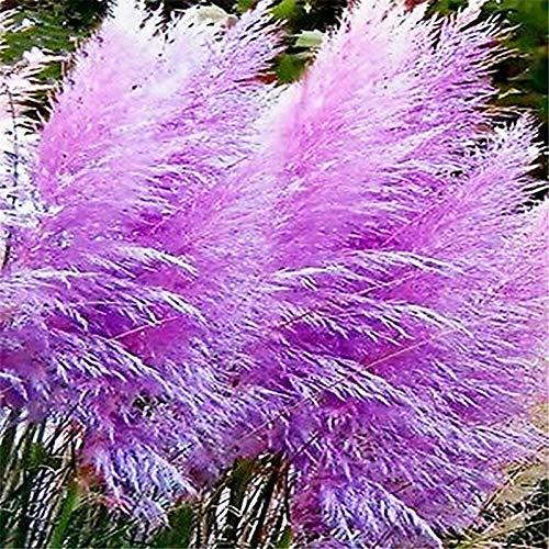 Lila Reed Samen, 100Pcs Reed Samen dekorative DIY Schöne Zier Pampas-Gras Reed Samen für die ideale Outdoor-Garten Geschenk
