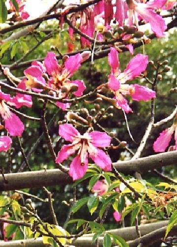TROPICA - Brasilianischer Florettseidenbaum (Chorisia speciosus) - 10 Samen