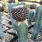 FARMERLY Copiapoa tenuissima gepfropft Cacti Saftige Re by -