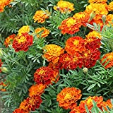 Lankfun Balcón Primavera Flores,Semilla de Pasto de Pavo Real Resistente al frío-Peacique_500g,Maceta para Plantas de jardín/Interiores