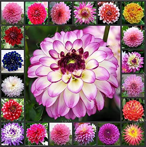 Pinkdose® He ier verkauf mehrfarbige dahlienzwiebeln schne mehrj hrige dahlie blumenzwiebeln bonsai anlage diy hausgarten: mischen