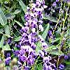 Portal Cool Happy Semi Wanderer Hardenbergia Violacea Fioritura scalatore Bulk 60 Seed Confezione #2