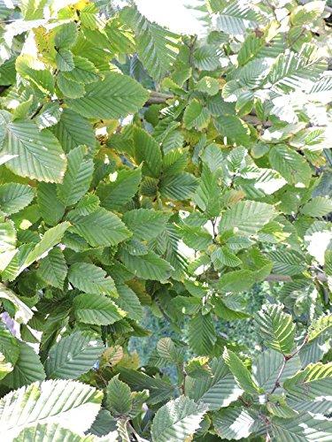70 Stück Heckenpflanzen Weiß-/Hainbuchen (carpinus betulus) Wurzelware 80-120 cm