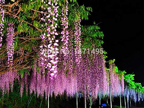 ANVIN 5 pcs/Bag Purple Wisteria Flower Bonsai for DIY Home & Garden Plant Wisteria sinensis (Sims) Sweet Bonsai