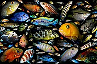 Tomorrow sunny F008 Aquarium fish family of cichlid fishes Animals Poster Art Wall Pictures for Living Room Canvas Fabric Cloth Print