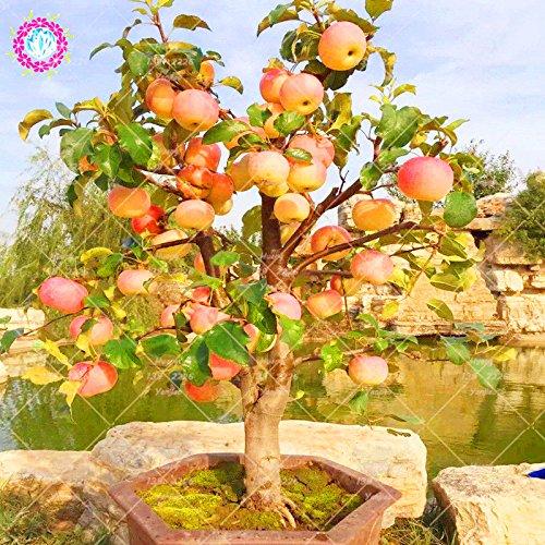 30 PCS Mini Bonsaï Graines jardin fruits santé bio Graines vivaces Plante en pot