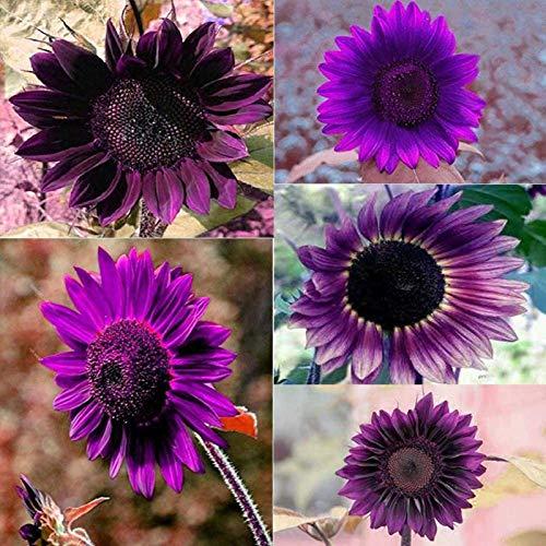 50 semi di girasole viola perenne fioritura vasi da fiori da giardino semi di girasole per fiori semi di girasole - semi di fiori, semi di ortaggi, semi di frutta, semi di giardino