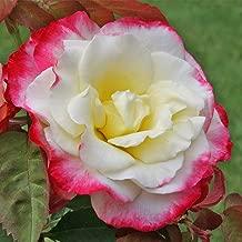Best hybrid tea rose bare root Reviews