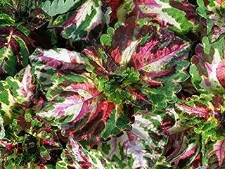 15 Pelleted Seeds Coleus Kong Mosaic Giant Coleus Seeds