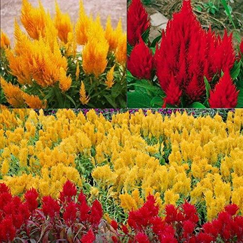 Exotische Mischte Farben Brandschopf Hahnenkamm Celosia Cristata Blumensamen 100Pcs, Raritäten Süße Entzückende Federbusch Cockscomb Deko Topf Pflanze