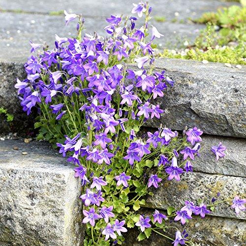 Serbio Bellflower, semillas de Blue Waterfall - Campanula poscharskyana