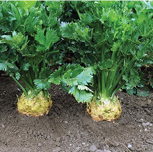 David's Garden Seeds Celeriac Brilliant 8441...