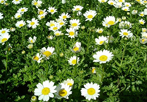 Parterre de fleurs Graines Embellissement Chrysanthemum paludosum 600pcs, Graines Chrysanthemum Parthenium Bonsai Fleur, Blanc Ju Hua Seeds