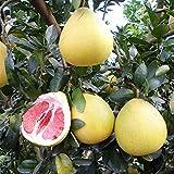 Pomelo piantine di alberi da frutto cuore rosso pomelo alberello giardino piantine in vaso piantine tre pomelo miele rosso 300 capsule