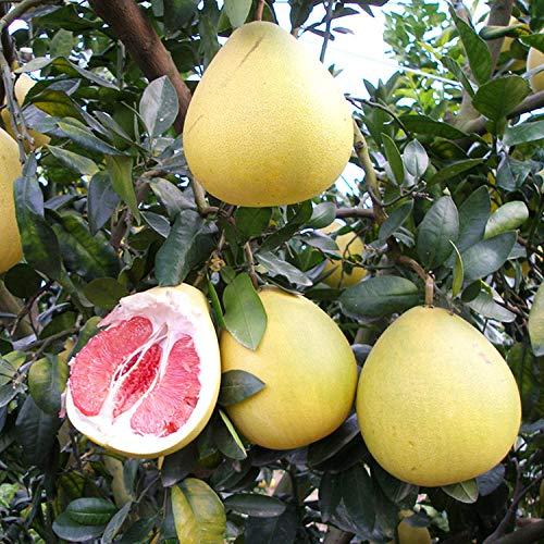 Plántulas de árboles frutales de pomelo corazón rojo pomelo retoño jardín plantación en...