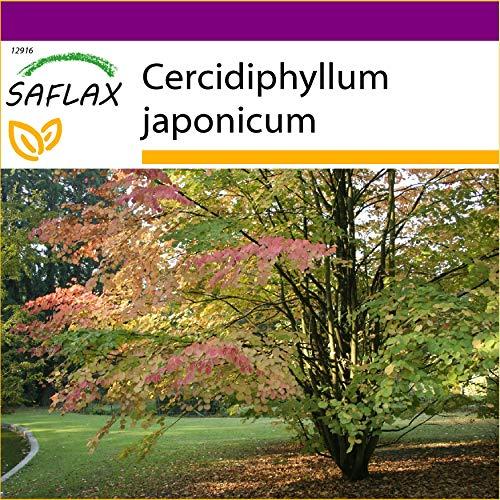 SAFLAX - Big Garden - Lebkuchenbaum - 200 Samen - Mit Gewächshaus, Töpfen, Anzuchtsubstrat und Dünger - Cercidiphyllum japonicum
