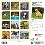 American Pit Bull Terriers 2020 12 x 12 Inch Monthly Square Wall Calendar with Foil Stamped Cover, Animals Dog Breeds (English, Spanish and French Edition) 4