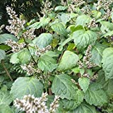 Patchouli Seeds (Pogostemon cablin) Packet of 50 Seeds