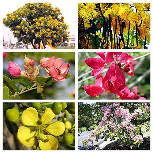 Cassia Paket, 6 verschiedene tolle Sorten, insgesamt 80 Samen, ECHT NUR von mediterranesamenUngarn