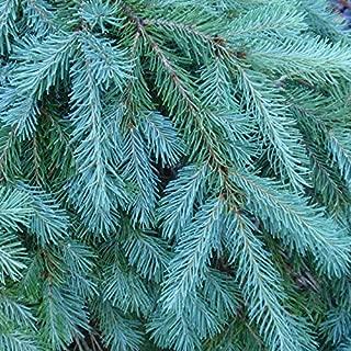 Best douglas fir bonsai Reviews