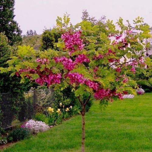 15 Graines Rose Locust Tree (Robinia hispida fertilis)