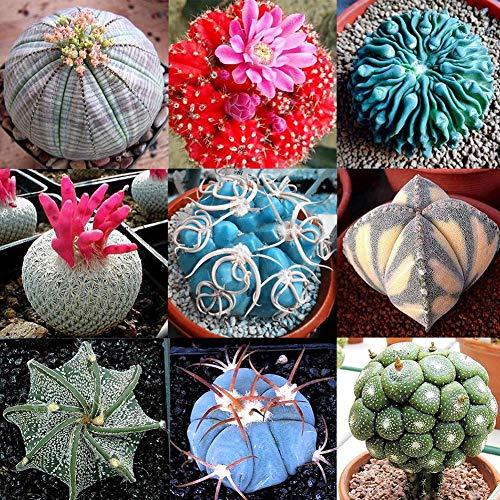 Portal Cool Graines de plantes succulentes: 100 pcs Rare Mix Graines Lithops Living Stones Graines de cactus succulentes biologiques en vrac