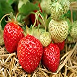 Seascape Beauty Everbearing 25 Live Strawberry Plants, Non GMO, by Hand Picked Nursery.