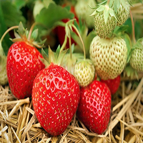 Eversweet Everbearing 25 Live Strawberry Plants, Non GMO,