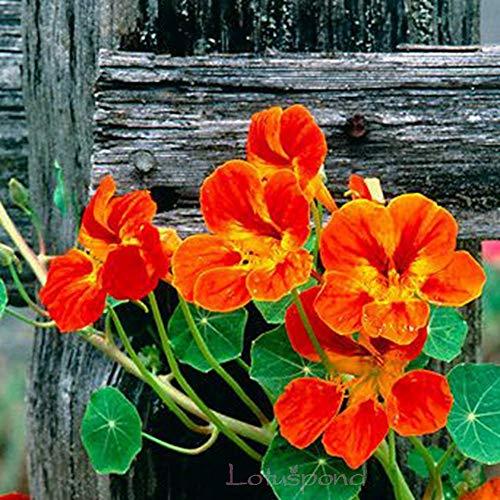 Semillas BloomGreen Co. Flor: Capuchinas Semillas Semillas Semillas Huerto de Flores con Manual de Instrucciones (12 Paquetes) Semillas de plantas de jardín