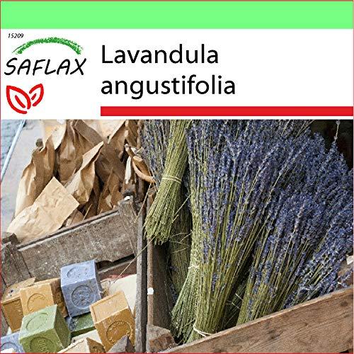 SAFLAX - Jardin dans la boîte - Lavande vraie - 150 graines - Lavandula angustifolia