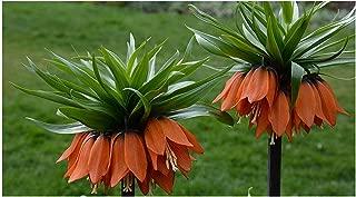 GARTHWAITE Nurseries : - 1 Fritillaria Imperialis Bulbs (Crown Imperial Rubra Maxima) Red Garden Perennial