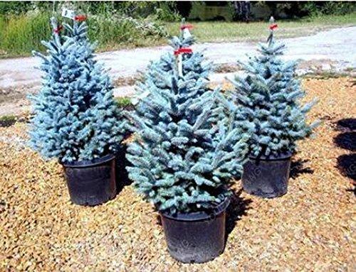 50pcs / sac rares épinette bleue Graines grimpantes à feuilles persistantes Sapin Bleu bonsaï Pin de Noël en pot pour décor de jardin