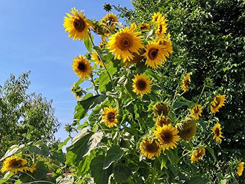 50 Samen große gelbe Sonnenblume Höhe bis 4m, viele Blüten, Helianthus Sonnenblumensamen Saatgut, hohe viele gelbe Blüten, Bienenmagnet Sonnen Blumen, Garten Geschenk