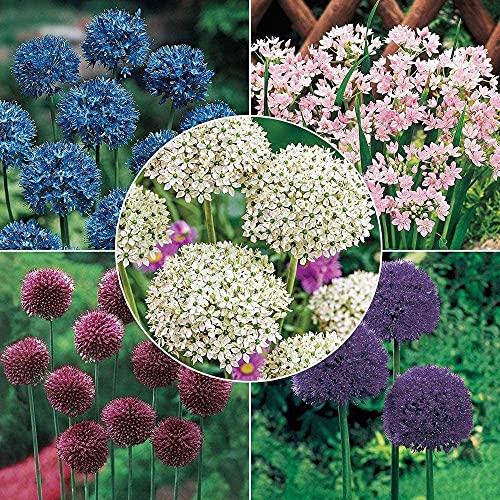 15pcs Mix Allium Lampen Hohe Qualität Allium Blume Knollen Exquisite Mehrjährige Hause Gartenarbeit Pflanzung Hof Garten Balkon Notwendig Landschaft