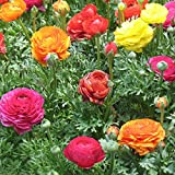 Raras Semillas de césped,Mezcla Semillas Ornamentales,Semilla de Flores Dalia Morning Glory-Nasturtium_500g