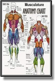 Canvas Prints Muscular System Anatomical Poster Muscle Anatomy Chart Anatomical Chart Human Body Educational Human Anatomy...