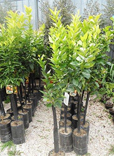 Pianta Limone in fitocella - Pianta Agrumi - H 120/140 cm