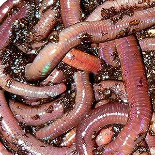 African Nightcrawlers, 2 LBS Live Worms
