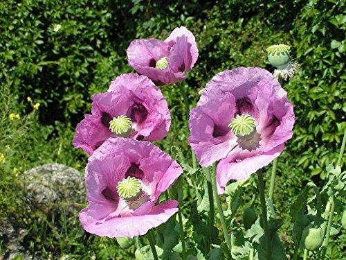 100 Graines semence fleur coquelicot pavot coloris rose violet pavot somnifere