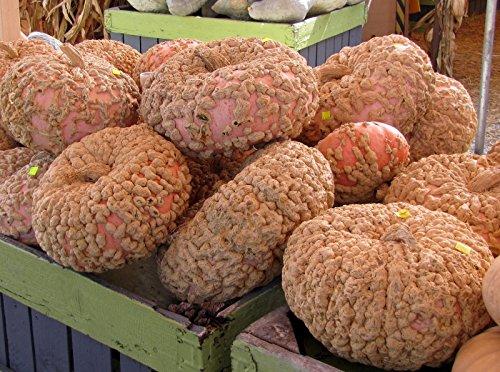 Galeux D » Eysines squash, (arachide citrouille), Cucurbita Maxima, 30 graines