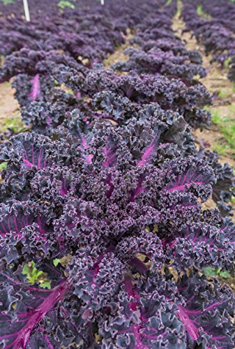 Roter Grünkohl (Brassica oleracea var. sabellica) 100 Samen BIO