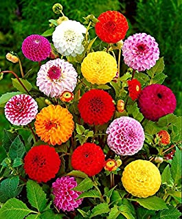 Dahlia Pompon Ball Variabilis Mix Seeds up to 50 Seeds