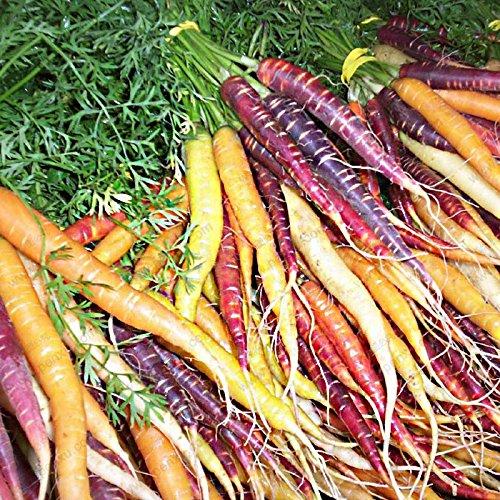 Graines de fruits de légumes Dragon Pourpre Carotte ginseng anti-âge nourrissant Bonsai plantes Semences pour la maison et le jardin 200 graines