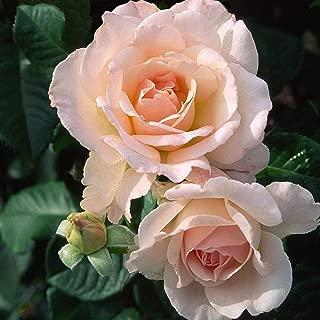 cameo rose perfume