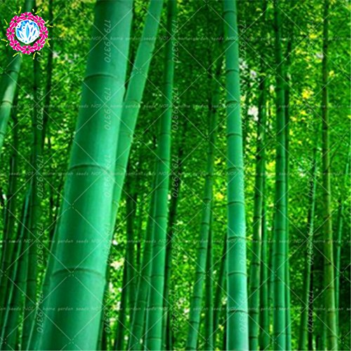 40pcs/sac Moso graines de bambou. Phyllostachys heterocycla Pubescens-géant Moso légumes bambou Graines pour le bricolage jardin plante