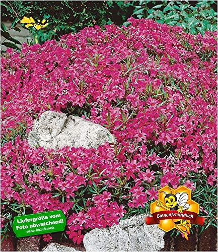 BALDUR-Garten Hortensien-Stämmchen 'Grandiflora', 1 Pflanze Hydragena paniculata grandiflora Zierstämmchen winterhart Gartenhortensie