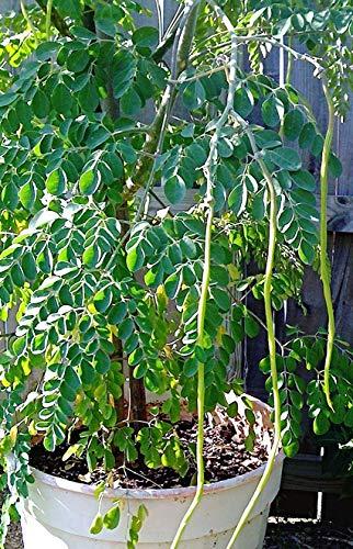 50 frische Moringa PKM 2 Samen, Meerrettichbaum, Drumstick Tree, Neue Sorte, Neu Dezember 2020