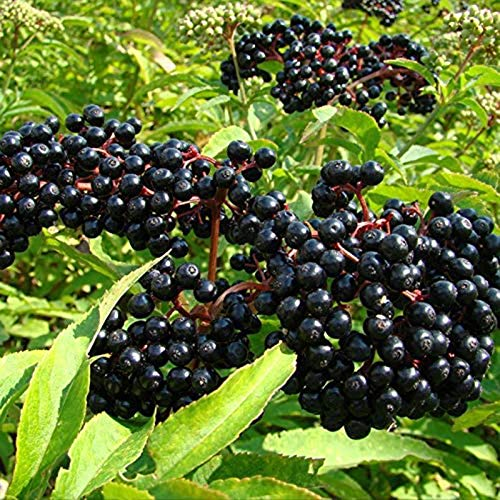 Oce180anYLVUK Holunder-Samen, 100 Stück Beutel Holunder-Samen Non-GMO Sweet Rare Fruit Seeds Holunder-Samen Für Den Garten 1